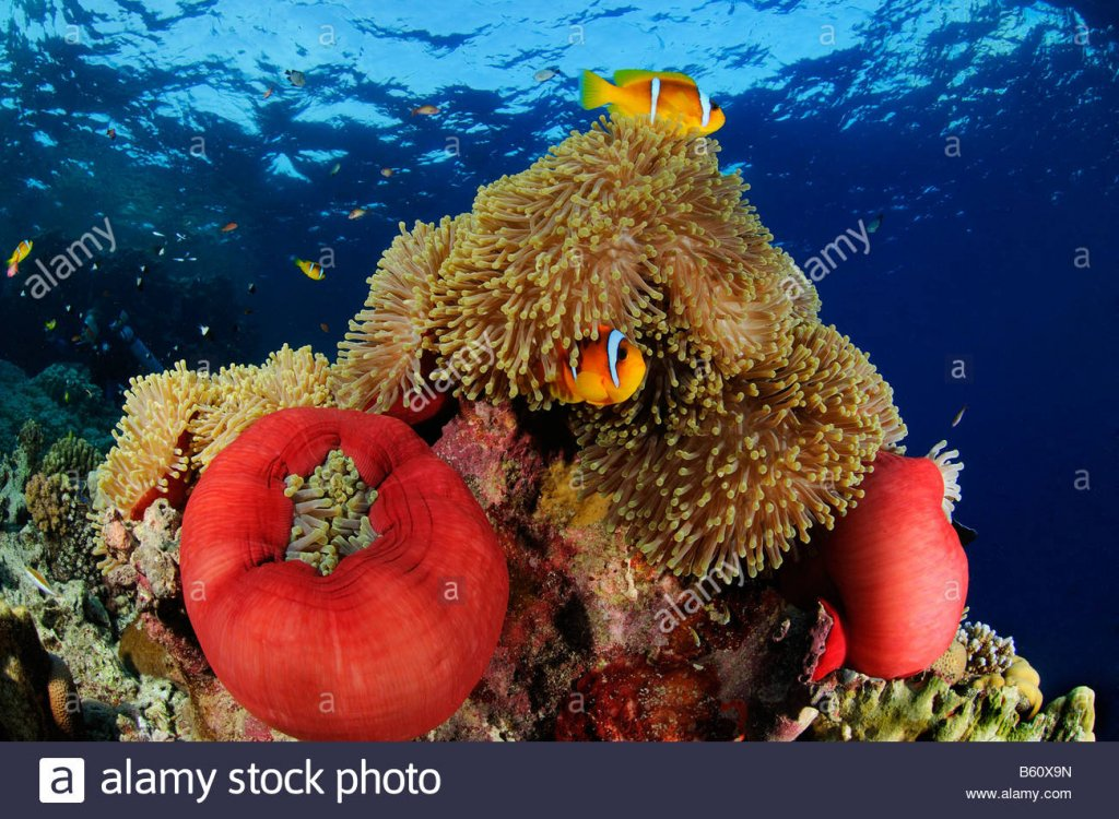 amphiprion-bicinctus-and-heteractis-magnifica-red-sea-anemonefishes-B60X9N.jpg