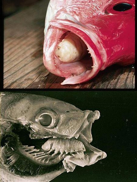 bizarre-tongue-eating-parasite-louse.jpg