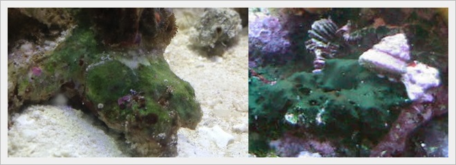 Cyanobacteria - Augmentin Tedavisi.jpg