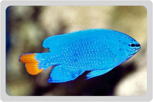 Elektrik Blue Damsel Balıkları.jpg