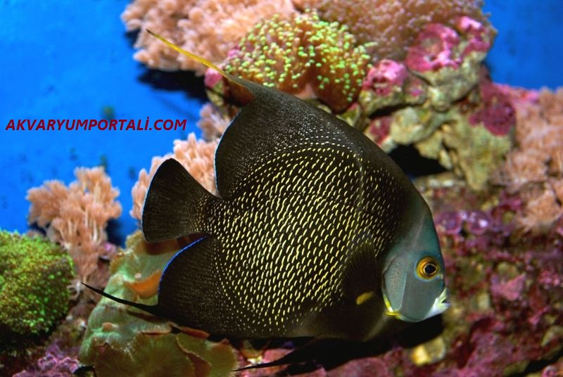 french angelfish.jpg