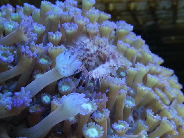 goniopora mercan açmıyor.jpg