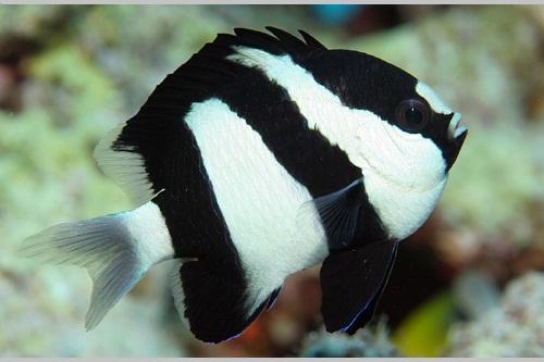Humbug Damsel Balığı.jpg