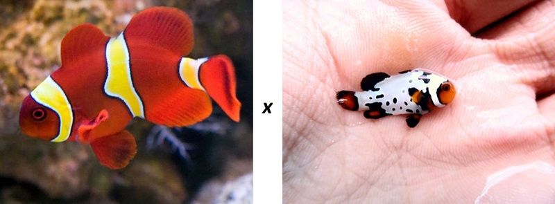 Hybrid clownfish breeding.jpg