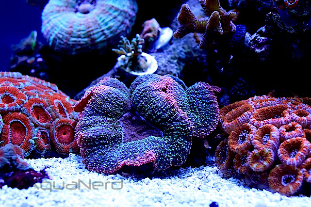LPS mercan bakımı.jpg