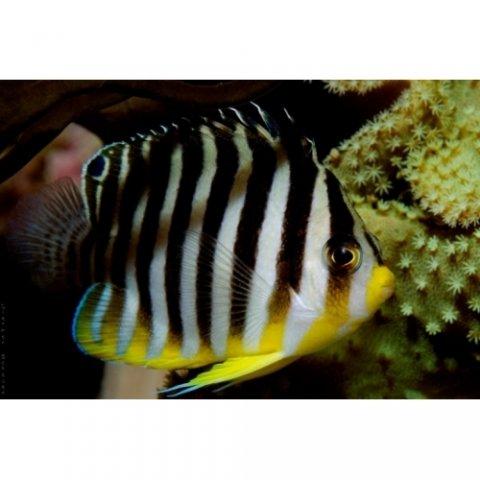 Multibar Angelfish (Paracentropyge multifasciata)-500x500.jpg