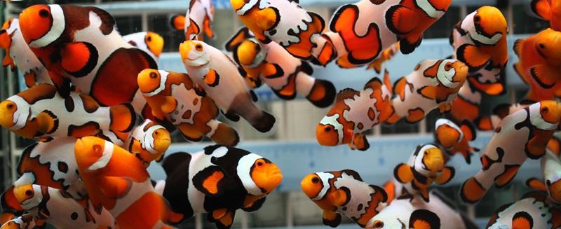 Palyaço Balıkları Ne anlatır.jpg