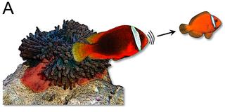 Palyaço balıkları Tavırları.png
