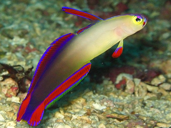 purple_fire_goby_technical_diving_thailand.jpg