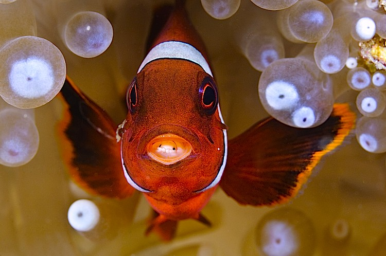 scanemonefish.jpg