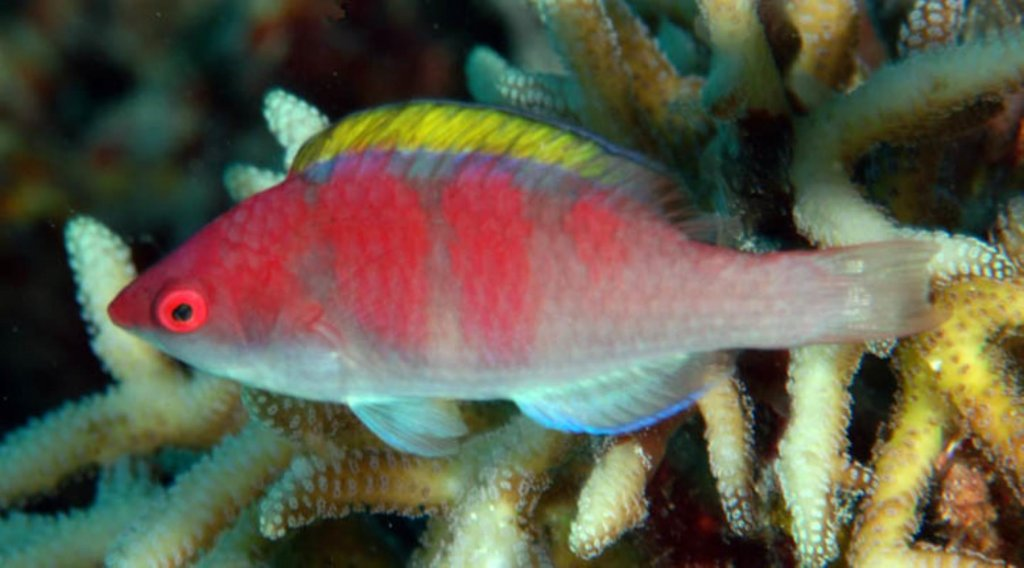 yellowfin-fairy-wrasse.jpg